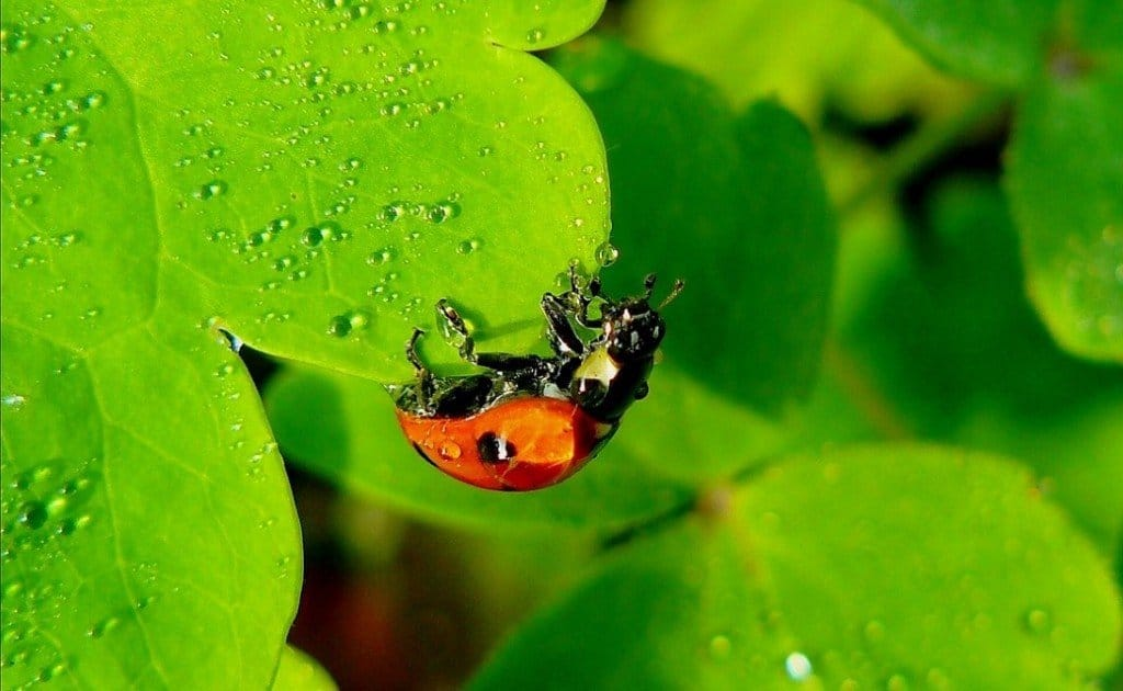 ladybug enjoying a drink