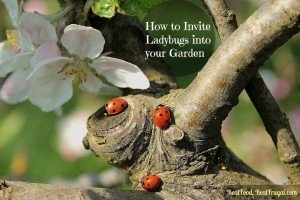 Attracting ladybugs to the garden